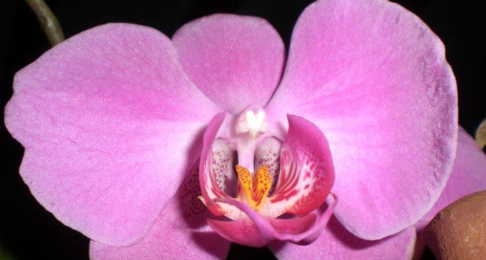 Orchidea-680x365_c